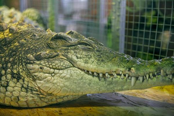 Крокодиловая ферма в Коломне